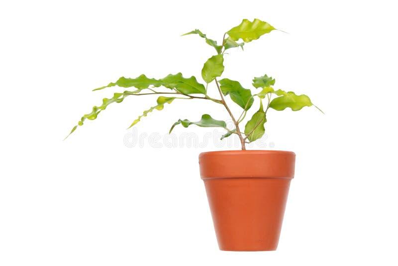 Ficus benjamina Złoty Monique w garnku odizolowywającym na białym tle lub Płaczący figi cultivar zdjęcie stock