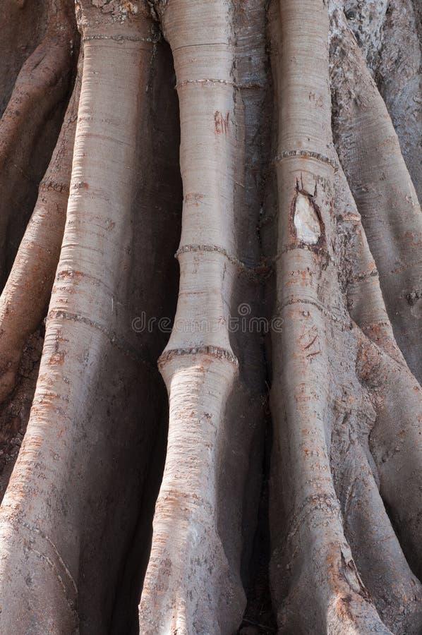 Download Ficus in Cadiz stock photo. Image of trunk, branch, nobody - 28720028