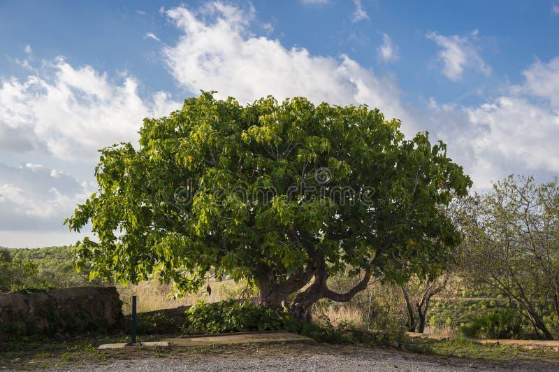 Ficus Carica †'Pospolitej figi drzewo Garraf, Hiszpania zdjęcia stock