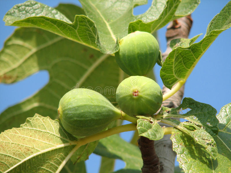 Ficus carica stock photos
