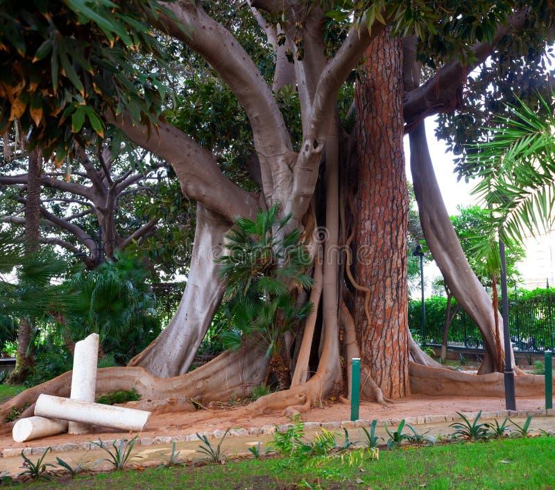 Ficus che abbraccia un pino fotografia stock