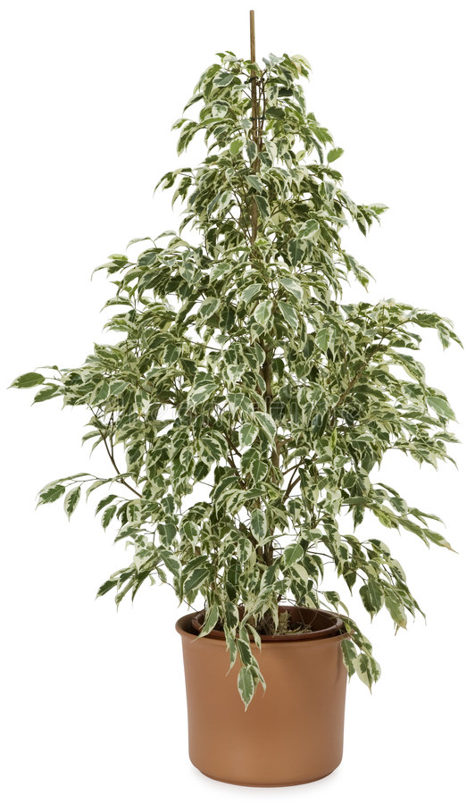 Ficus dans un bac photographie stock
