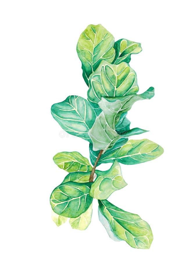 Ficus de plante en pot d'aquarelle d'isolement sur le blanc images stock