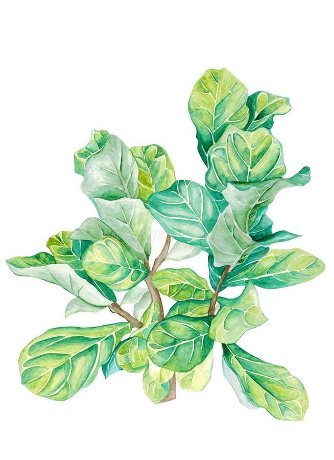 Ficus de plante en pot d'aquarelle d'isolement sur le blanc photo stock