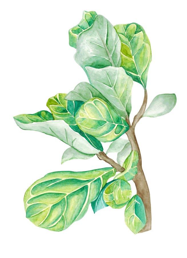 Ficus de plante en pot d'aquarelle d'isolement sur le blanc photos libres de droits