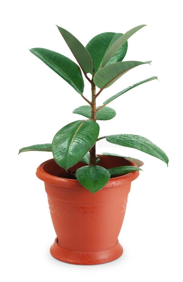 Ficus del Houseplant fotografie stock