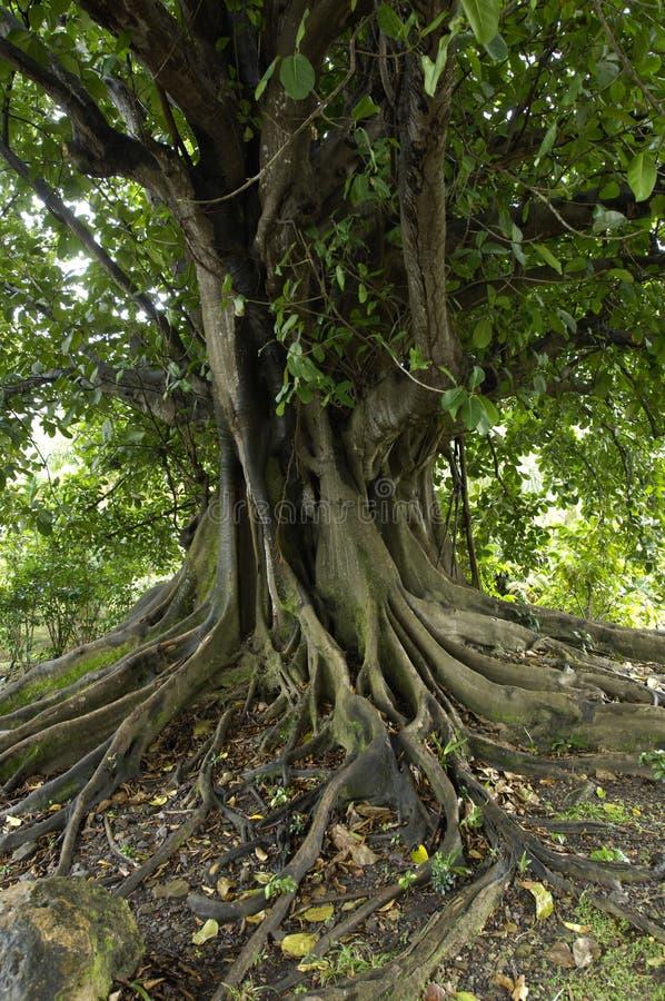 Ficus in der Behausung mild lizenzfreie stockfotos