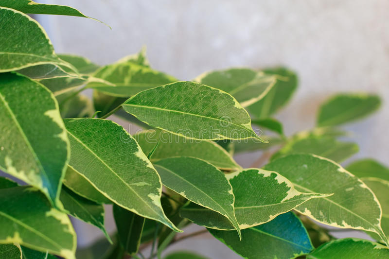 Ficus drzewa liście fotografia royalty free