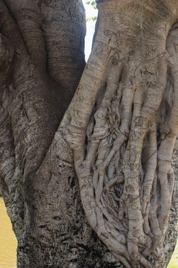 Ficus Drzewnego bagażnika zbliżenie obrazy royalty free