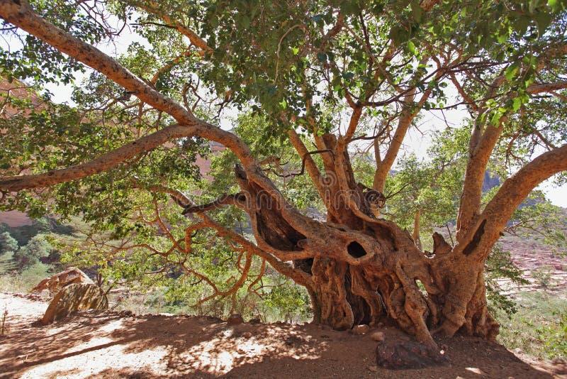 ficus duży drzewo obrazy stock