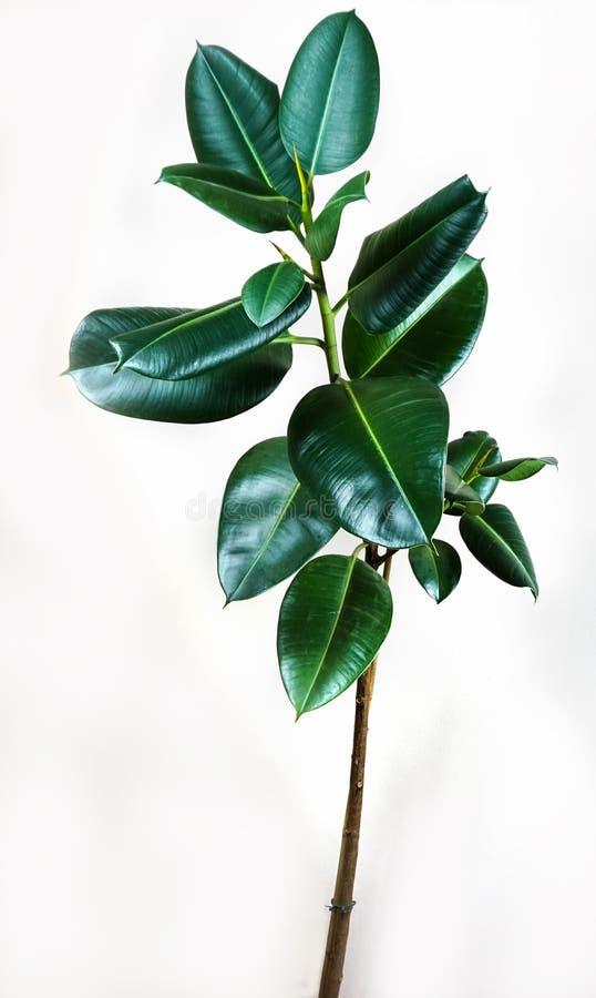 Ficus elastica Anlage treibt mit lokalisiertem weißem Hintergrund Blätter stockbild