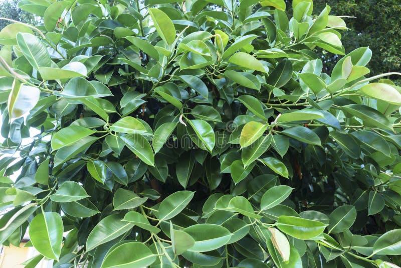 Ficus Elastica no close up do ver?o foto de stock royalty free