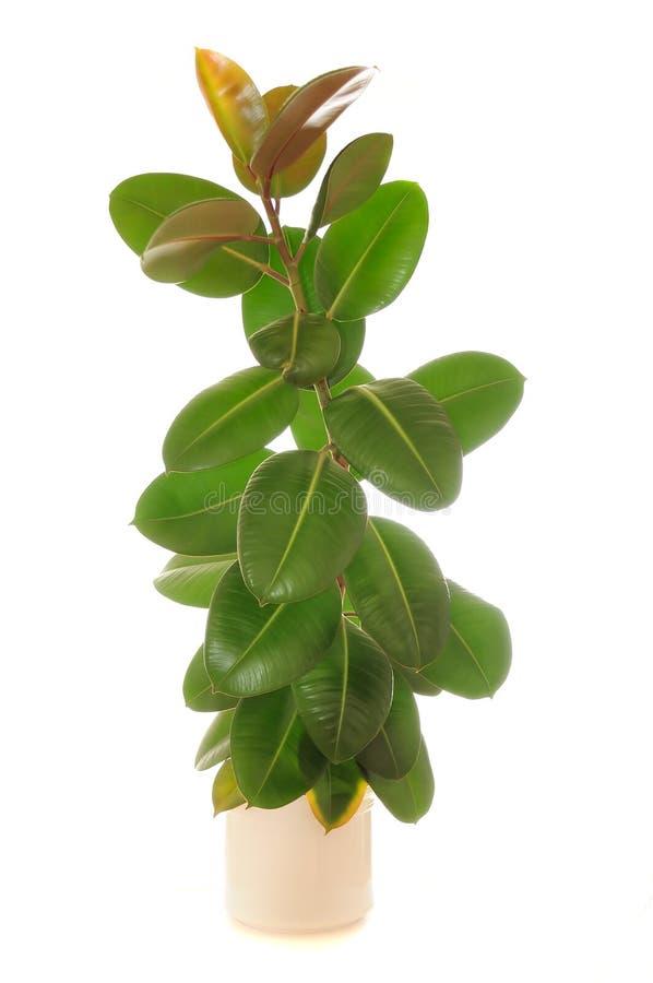 Ficus Elastica (plant gommifère) dans le bac photos libres de droits