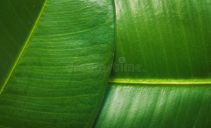 Ficus elastica, rubber fig leafs close up macro stock photo