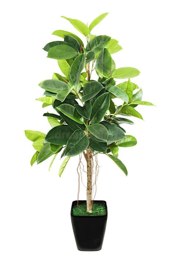 Ficus elastica w czarnym flowerpot na bielu (Indiański Gumowy Bush) zdjęcia stock