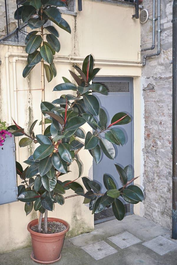 Ficus elastica w kwiatu garnku obraz stock