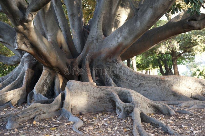 Ficus Em Perth, Austrália Imagem de Stock Royalty Free