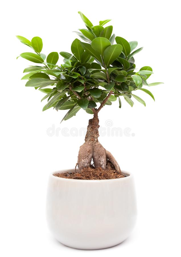 Ficus Ginseng - δέντρο μπονσάι στοκ φωτογραφία με δικαίωμα ελεύθερης χρήσης