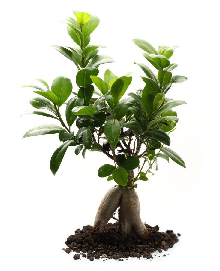 Ficus ginseng με το χώμα στοκ εικόνα