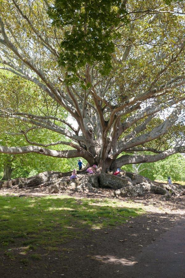 Ficus grandes como barras de mono foto de archivo