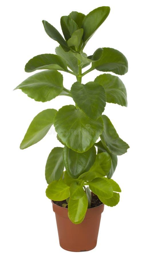 Ficus im Potenziometer stockfotos