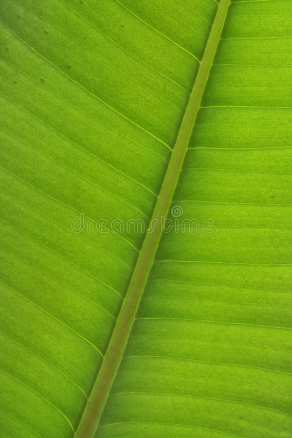 Free Ficus Leaf Close-up Royalty Free Stock Photo - 15100215
