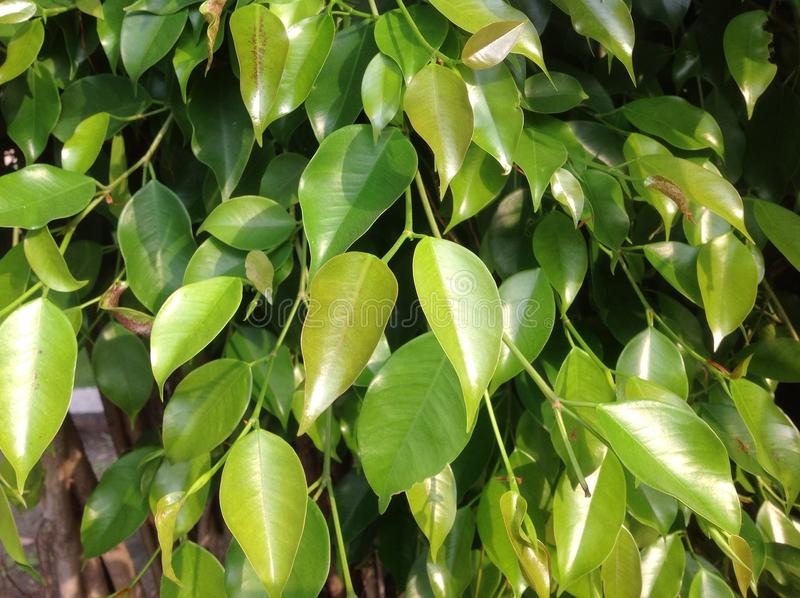 Ficus leaves. Ficus (/ˈfaɪkəs/ or /ˈfiːkəs/) is a genus of about 850 species of woody trees, shrubs, vines, epiphytes and hemiepiphytes in stock images