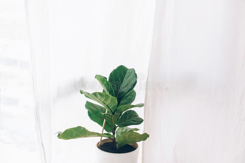 Ficus lyrata. Beautiful fiddle-leaf, fig tree plant with big green leaves in white pot. Stylish modern floral home decor in. Minimal style royalty free stock images