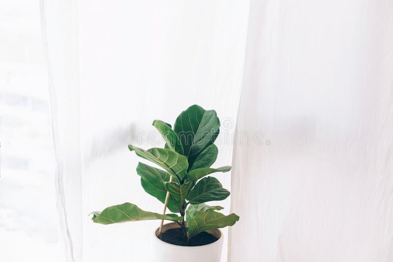 Ficus lyrata Schönes Geigeblatt, Feigenbaumanlage mit großen grünen Blättern im weißen Topf Stilvoller moderner Blumenhauptdekor  lizenzfreie stockbilder