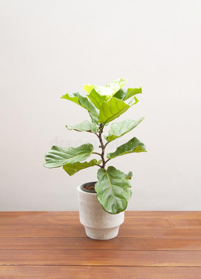 Ficus lyrate tree in cement pot. On wooden floor stock photography