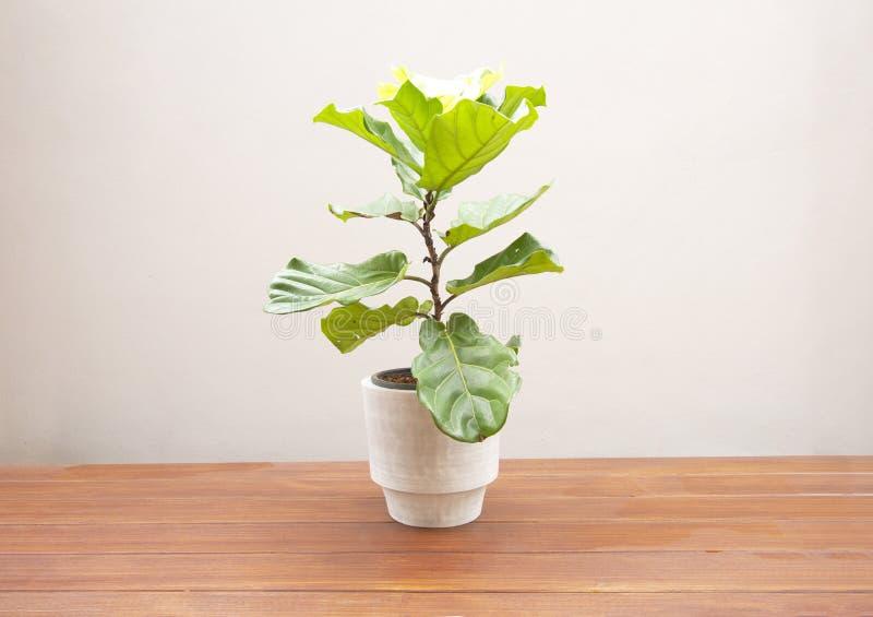 Ficus lyrate tree in cement pot. On wooden floor stock photos