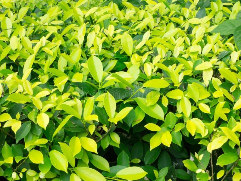 Ficus microcarpa miękka ostrość dla tła zdjęcie stock