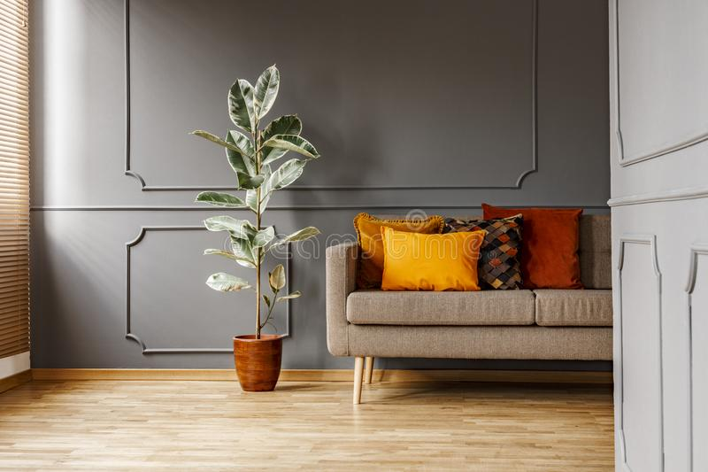 Ficus next to brown couch with orange pillows in dark grey apart. Ment interior. Real photo royalty free stock photography