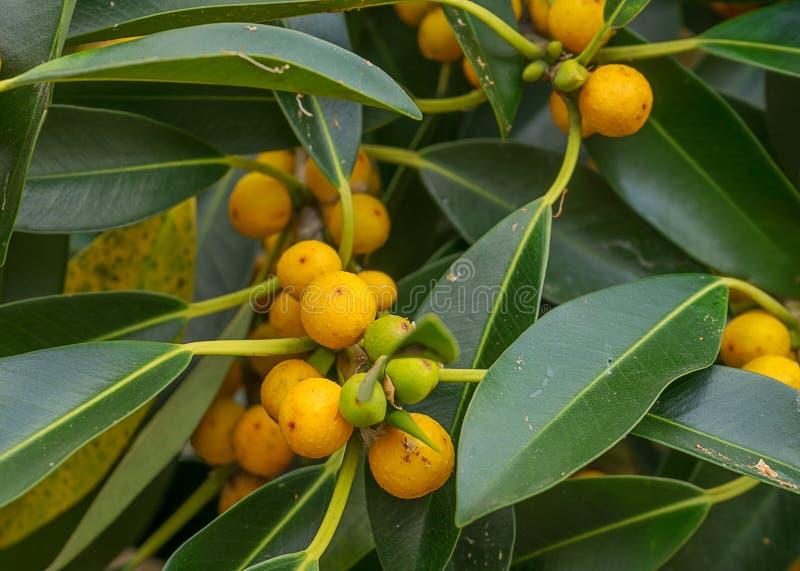 Ficus pequeno nativo australiano da árvore de figo da folha oblíquo fotografia de stock