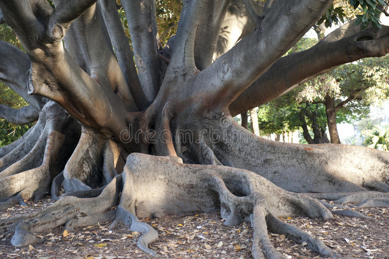 Ficus In Perth, Australien Lizenzfreies Stockbild