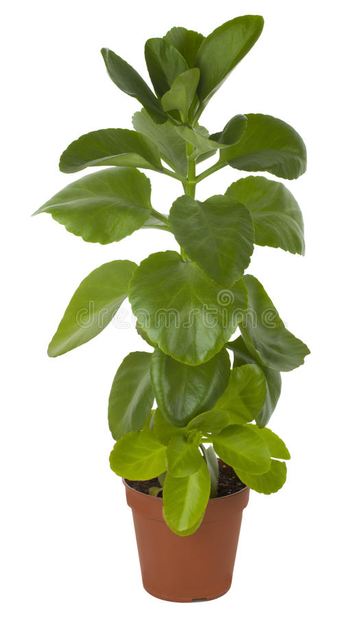Ficus in POT fotografie stock