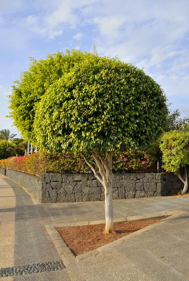 Ficus. Pruned, well managed fig tree in triangular plot on public walkway showing paving styles and elements of landscape design royalty free stock image