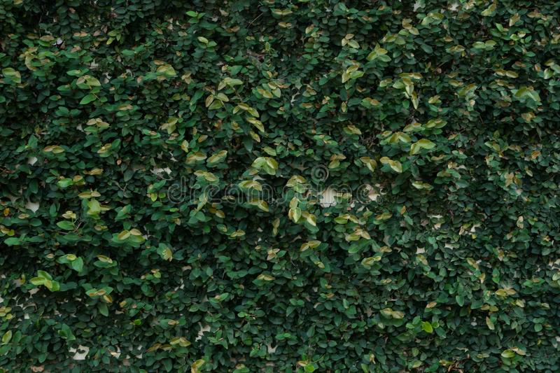 Ficus pumila, wall climbing plant, texture background, nature wallpaper concept. Dark green tone leaf leafs natural textured surface purple color jungle spa stock image