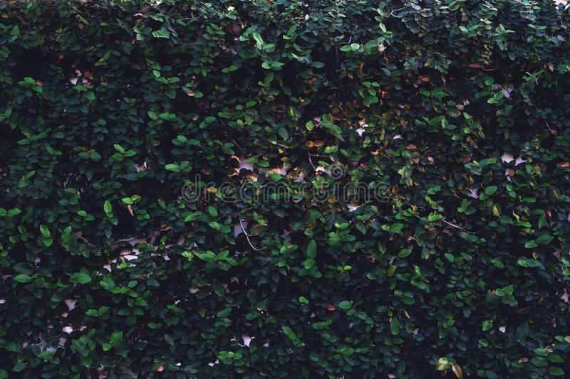 Ficus Pumila Wall Climbing Plant Texture Background Nature Wallpaper Concept Stock Image Image Of Flora Deep 134448561