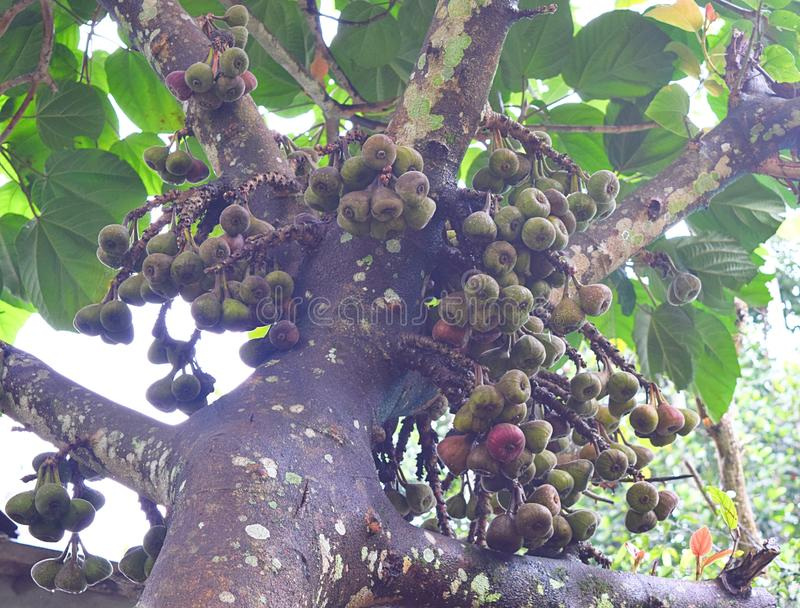 Ficus Racemosa - ficus Glomerata Roxburghii - fichi di Gular sul fico del mazzo - albero di fico d'India fotografia stock libera da diritti