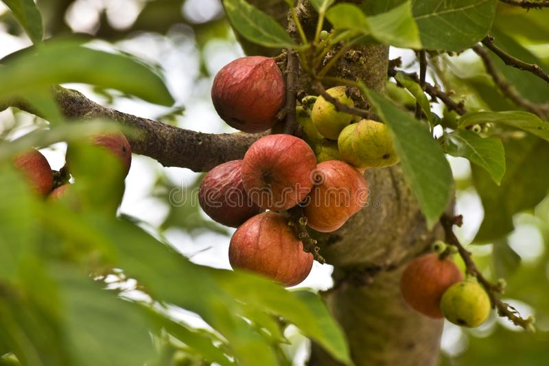 Ficus Racemosa, one of genus ficus fruit. Popularly known as the cluster fig tree, Indian fig tree or gular fig, this is native to stock image