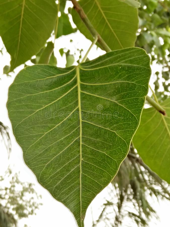FICUS RELIGIOSA /SACRED FIG royalty free stock photography