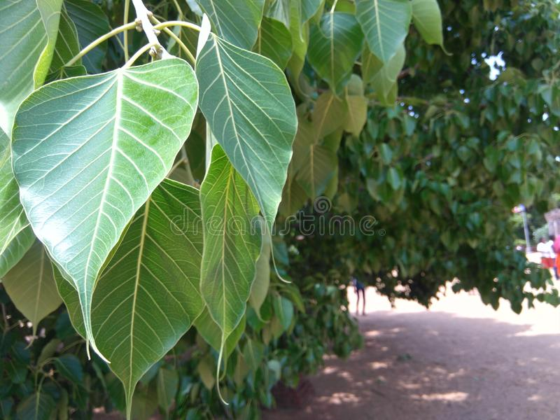 Boo tree leves in Somawathi. royalty free stock photos