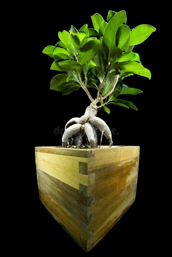 Download Ficus retusa stock image. Image of diagonal, nature, plant - 11830111