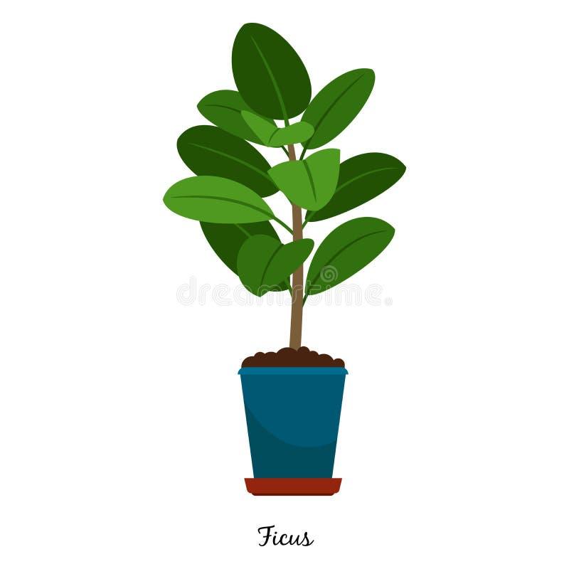 Ficus roślina w garnku ilustracji