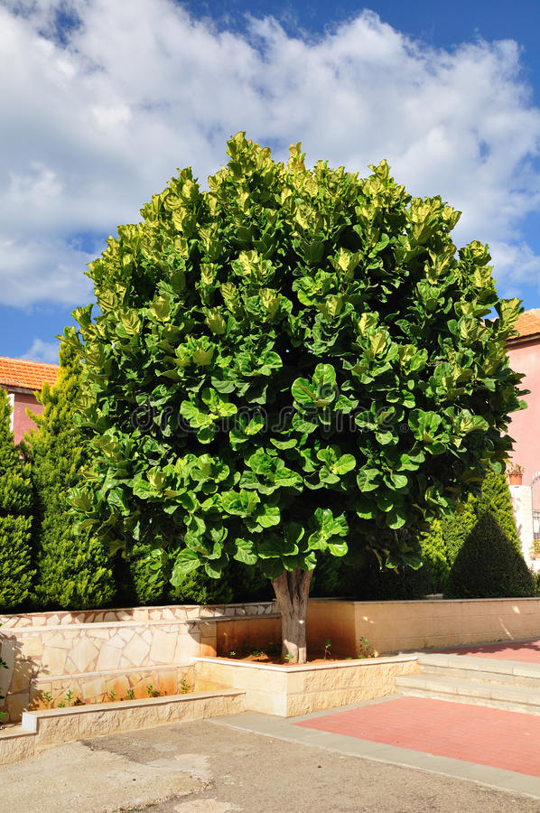 Ficus Tree. Royalty Free Stock Photos