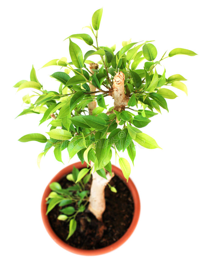 Download Ficus tree stock photo. Image of green, white, flower - 22973442