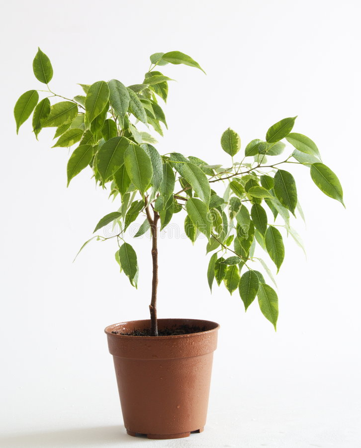Ficus tree. A small ficus tree planted in a pot, on a light gray background royalty free stock image