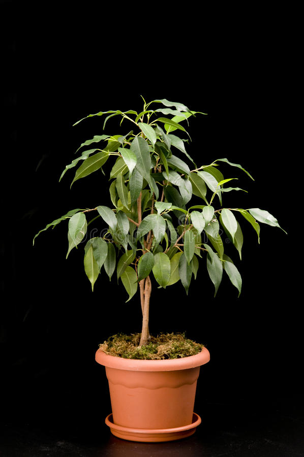 Free Ficus Tree In A Flower Pot Stock Images - 23458054