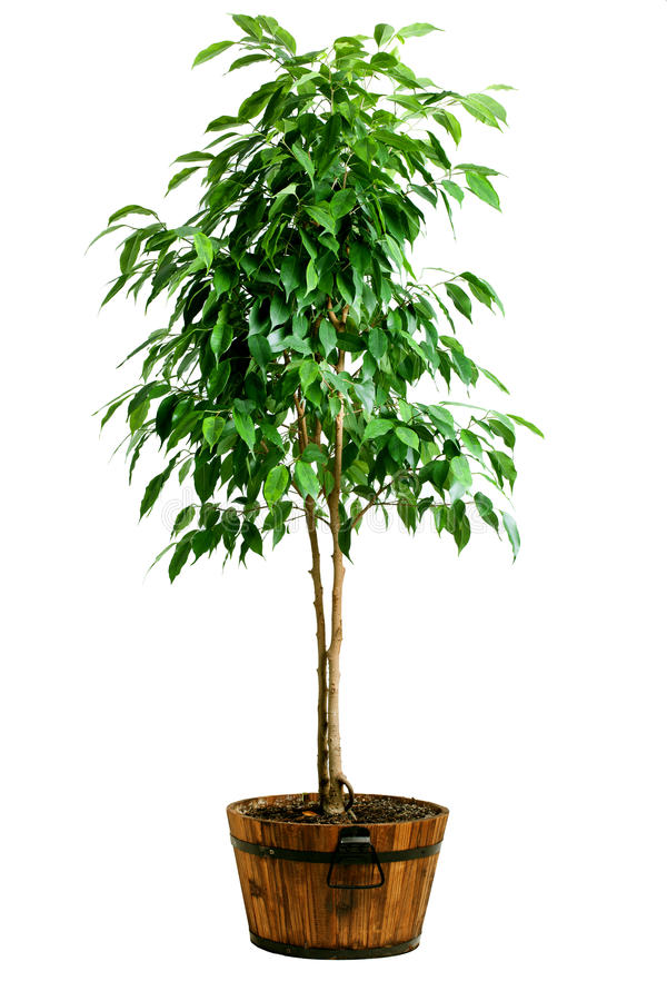 Ficus tree in pot stock image